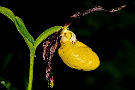 lady slipper: lady slipper orchid, wildflower in Germany