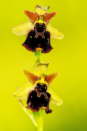 late: late spider-orchid