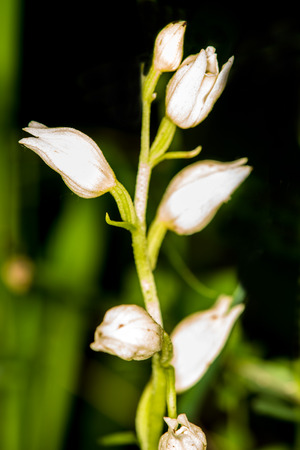 broadleaf: White helleborine, orchid of Germany