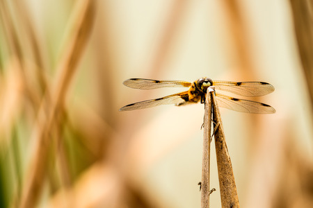 chaser: Four-Spotted chaser, dragonfly sitting on a leaf near a pond