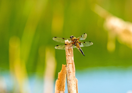 libellula: Four-Spotted chaser, dragonfly sitting on a leaf near a pond