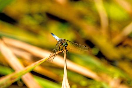 skimmer: black-tailed skimmer, Orthetrum cancellatum,  European dragonfly Stock Photo