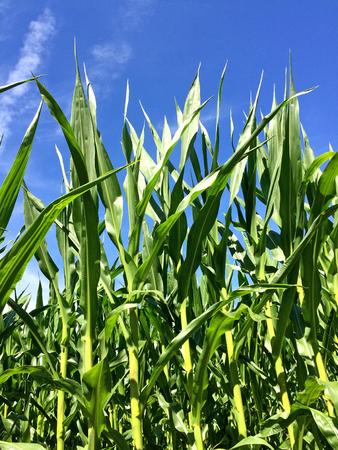 corn with a blue sky