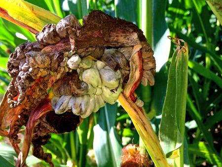 smut: Corn smut, Ustilago maydis, disease
