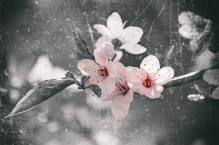 momentariness: Japanese cherry blossom in vintage style
