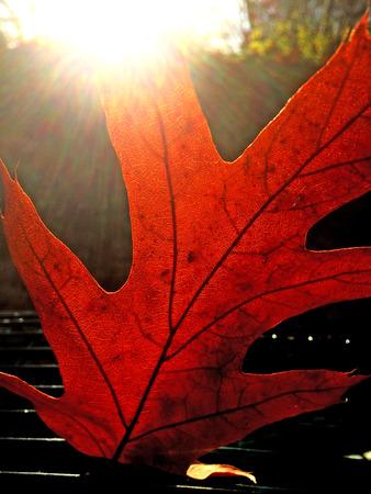 colour in: hojas de color otoñal en contraluz Foto de archivo