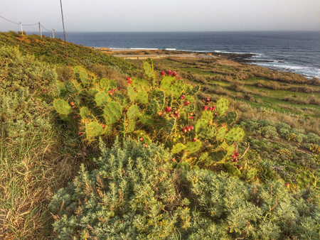 Opuntia dillenii in Tenerife Banque d'images
