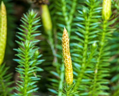 Huperzia, fir moss, medicinal plant in a forest,remedy against Alzheimer disease