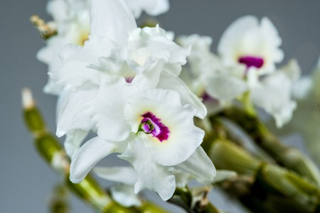 Dendrobium orchid, flower, drug