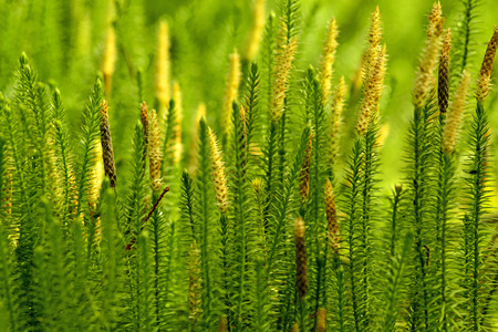 acetylcholinesterase: Huperzia, fir moss, medicinal plant in a forest,remedy against Alzheimer disease