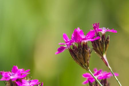 abbeys: Carthusian Pink, medieval medicinal herb of the abbeys Stock Photo