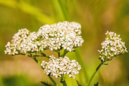 yarrow: common yarrow, medicinal herb