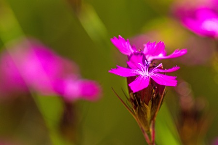 Carthusian Pink, medieval medicinal herb of the abbeys Stock Photo