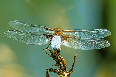Broad-bodied chaser sitting at a pond, male Stock Photo