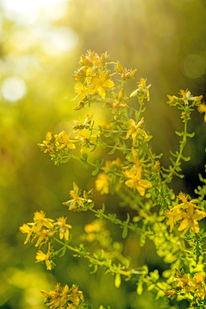 St. John wort, medicinal plant with flower Stock Photo