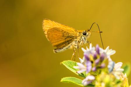 small skipper on yellow flower