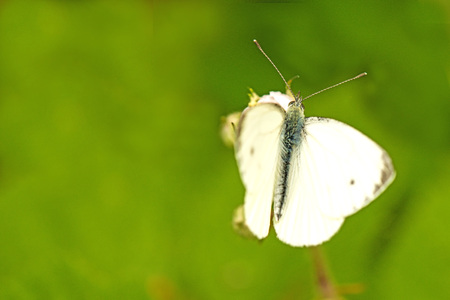 pieris: cabbage butterfly, Pieris rapae, male Stock Photo