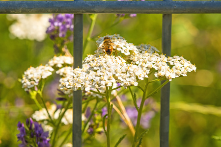 yarrow: common yarrow, medicinal herb with bee