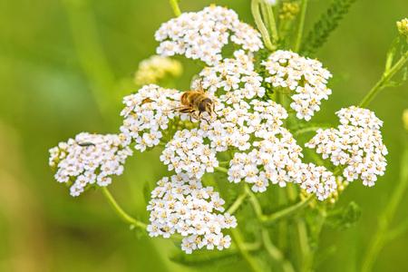 yarrow: common yarrow, medicinal herb with beetle Stock Photo