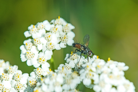 yarrow: common yarrow, medicinal herb with fly