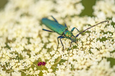 musk beetle on wild carrot flower Stock Photo