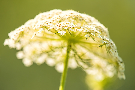 wild carrot, flower of the wildflower