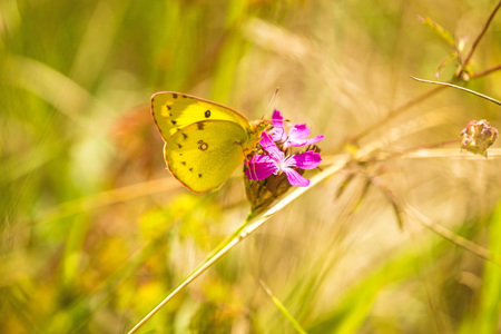 sucks: pale clouded yellow on a pink