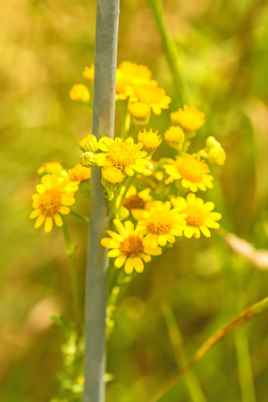 ragwort, Senecio jacobaea, toxic plant