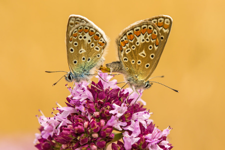 common blue, pair during reproduction on a oregano