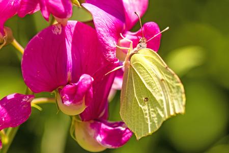 gonepteryx: brimstone butterfly, Gonepteryx rhamni, on a on a vetch flower
