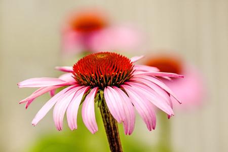 echinacea: cone flower, Echinacea purpurea, American medicinal plant with flower Stock Photo