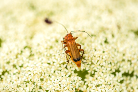 soldier beetle, Cantharis on a flower of a wild carrot Stock Photo