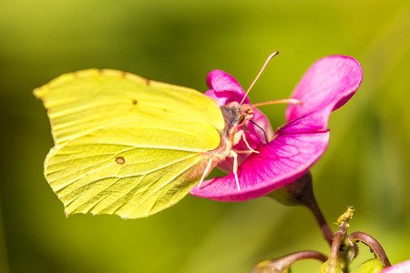 brimstone butterfly, Gonepteryx rhamni on vetch flower