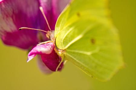 Brimstone butterfly, Gonepteryx rhamni on vetch flower