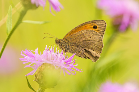 sucks: Meadow brown, Maniola jurtina, on a flower