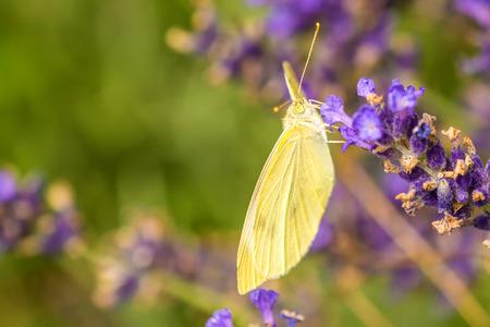gonepteryx: cabbage butterfly, Pieris rapae, on lavender