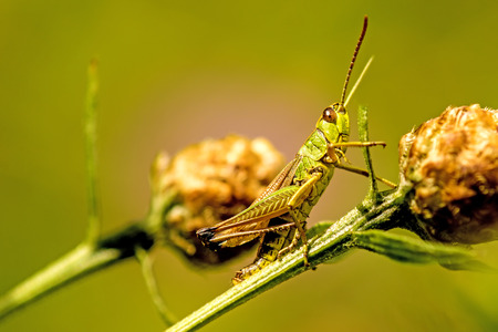 The common grasshopper, Chorthippus parallelus, in a meadow