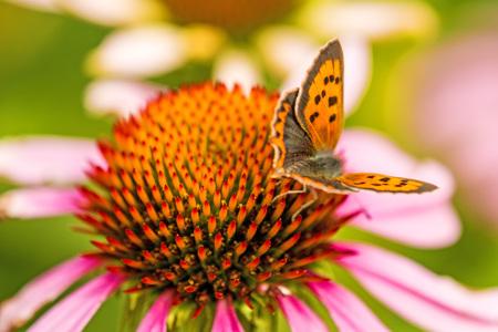 Farfalla di rame comune Archivio Fotografico - 82522008
