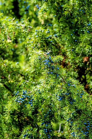 juniper berries, ripe and unripe 免版税图像