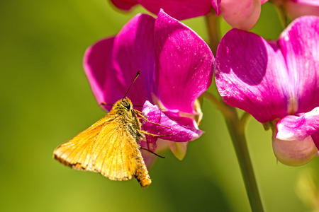 small skipper on vetch flower Stock Photo