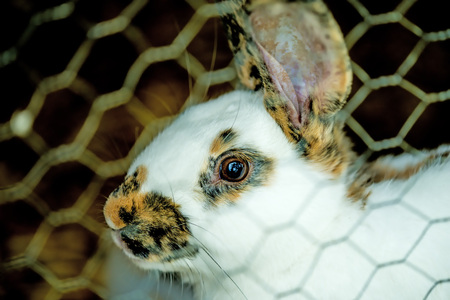 domestic rabbit in a cage