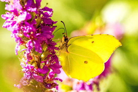 brimstone butterfly on a flower of a purple loosestrife Stock Photo