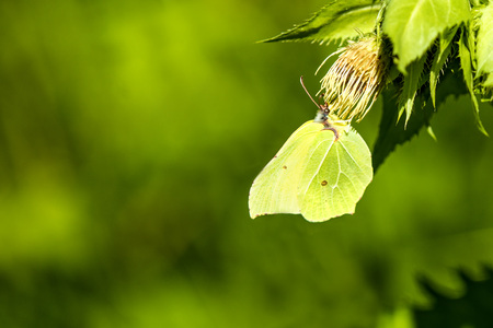 gonepteryx: brimstone butterfly on a flower of a cabbage thistle