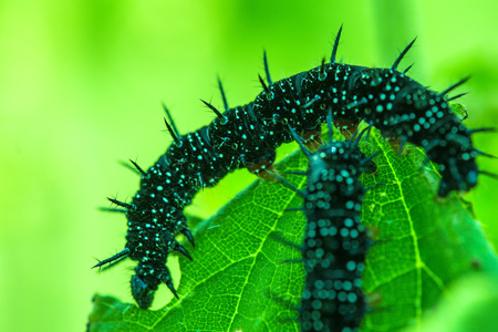 Caterpillar of peacock butterfly on stinging nettle Stock Photo