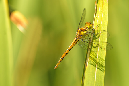 ruddy darter, young female animal Stock Photo