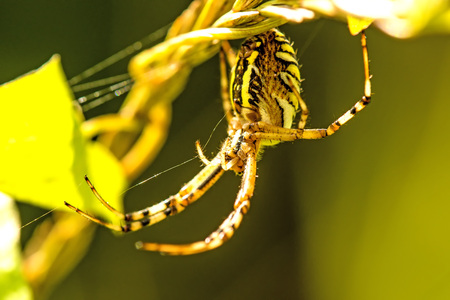 wasp spider, female in its net