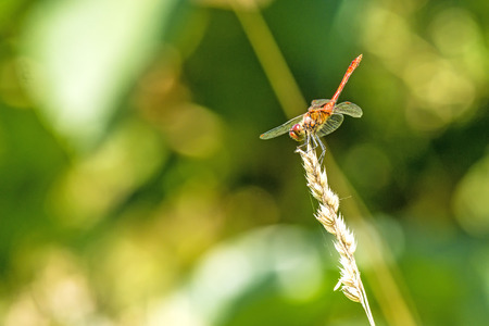 Ruddy darter, male sitting on a grass