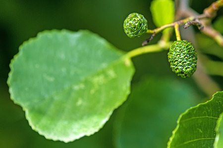 common alder with fruits and leaf Stock Photo - 84961574