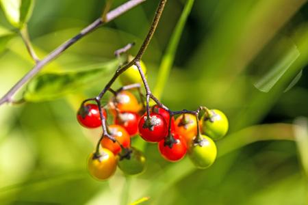 nightshade: bittersweet nightshade, medicinal plant with berries