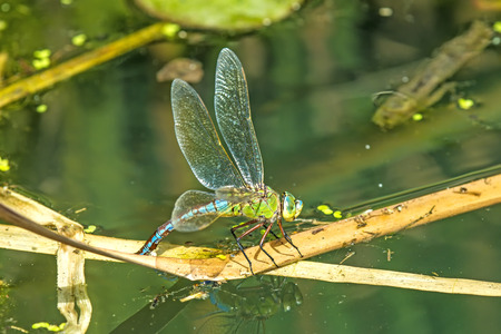 The emperor dragonfly, female laying eggs in a pond